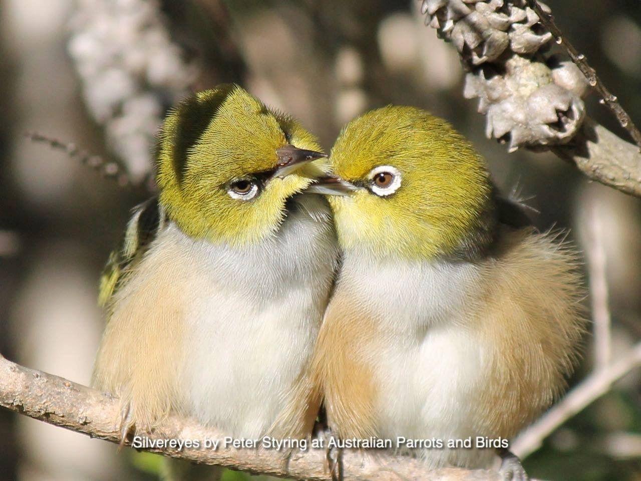 Brilvogeltjes.