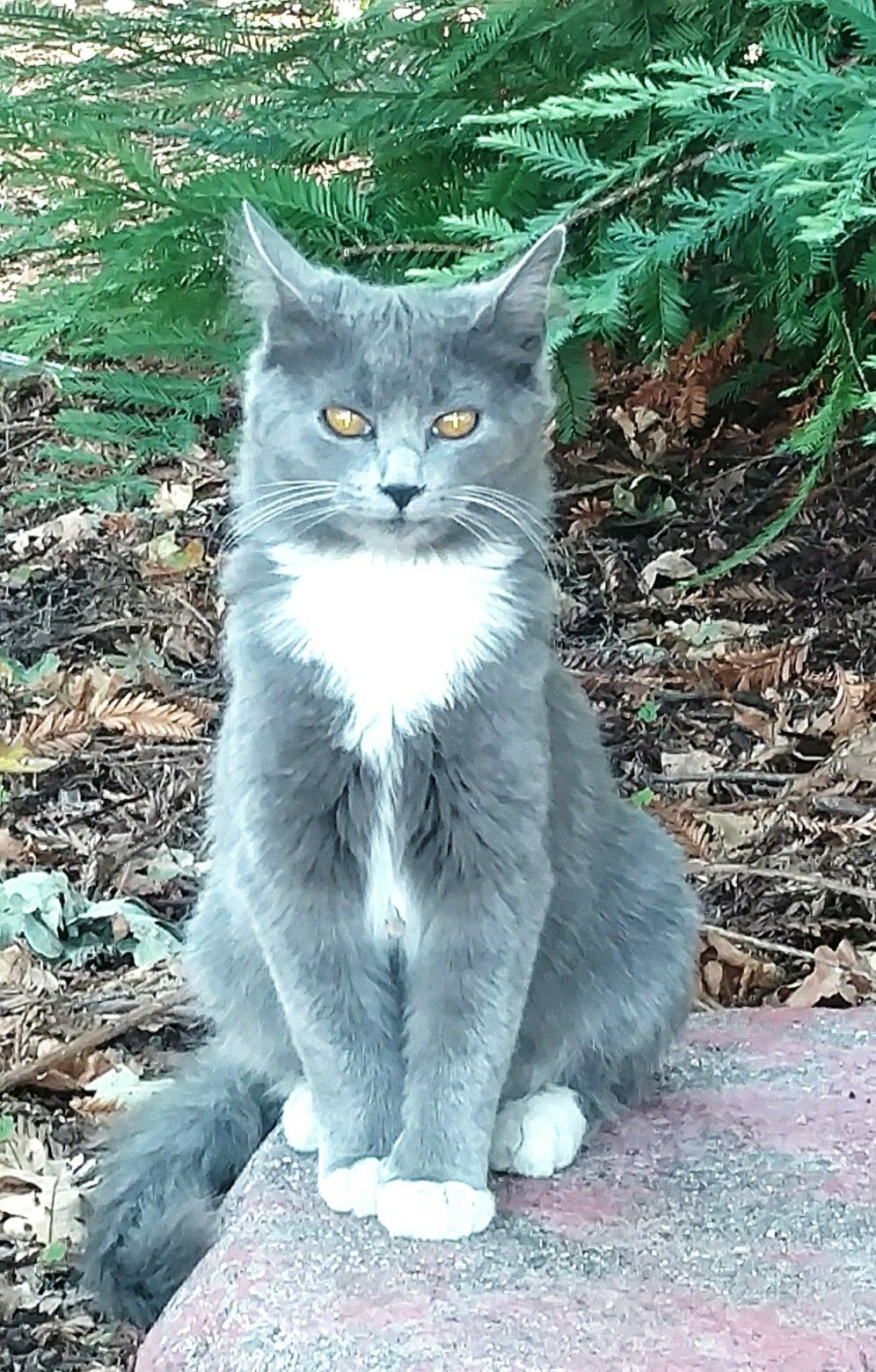 Gray Cat With White Paws : white, White, Cats,