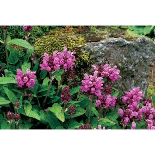 Bijenkorfje/Heelkruid (Prunella Grandiflora Rose)