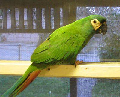 Mini Macaw Parrots Macaw Parrot Macaw Parrot