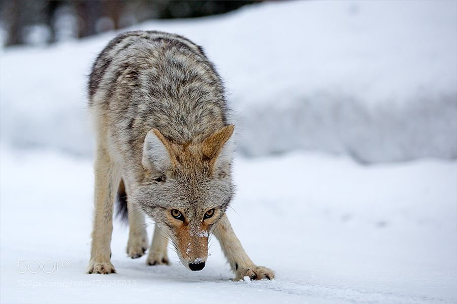 Coyote by HE Atala