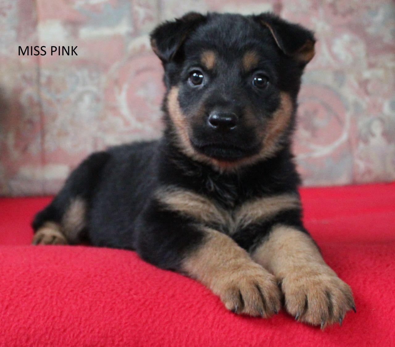 German Shepherd X Rottweiler Puppies 1 Girl Left Stowmarket Suffolk Pets4homes Rottweiler Puppies Puppies Rottweiler