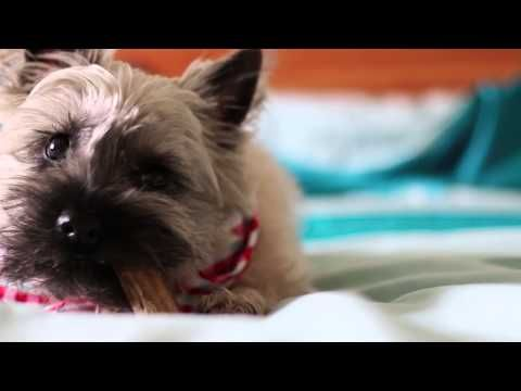 Coco The Cairn Terrier This Is So Sweet Reminds Me Of All The