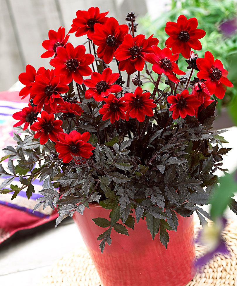 Dahlia Dark Angels® 'Pulp Fiction'  blooms and dark red leaves! This striking combination of flowers and foliage is ideal for a patio planter or window-box on your patio or decking! Both the flowers and the leaves will look great in a flower arrangement!