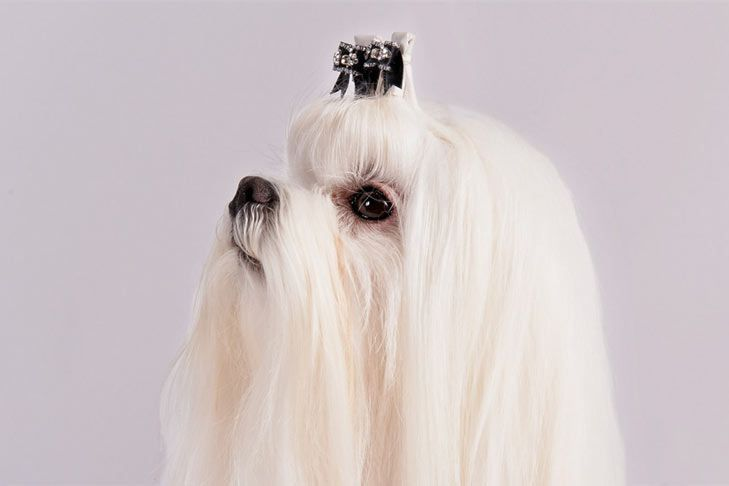 Right Breed For You Maltese Information Including Personality