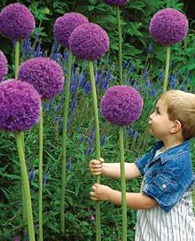 Allium- Just ordered these, can't wait to see them.