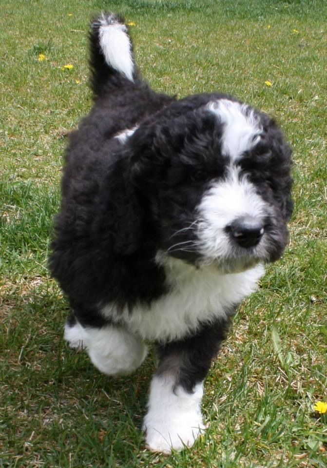 Our New Sheepadoodle Puppy Otis Photo By Utah Wiggle Bottoms Our