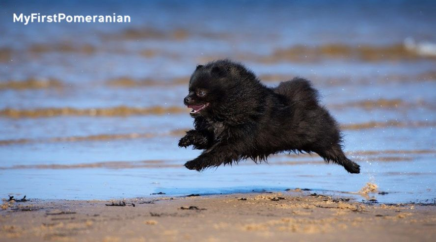 How much does a pomeranian puppy cost with images