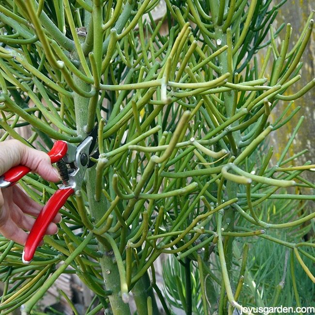 Pruning Euphorbias: Watch Out For The Sap!