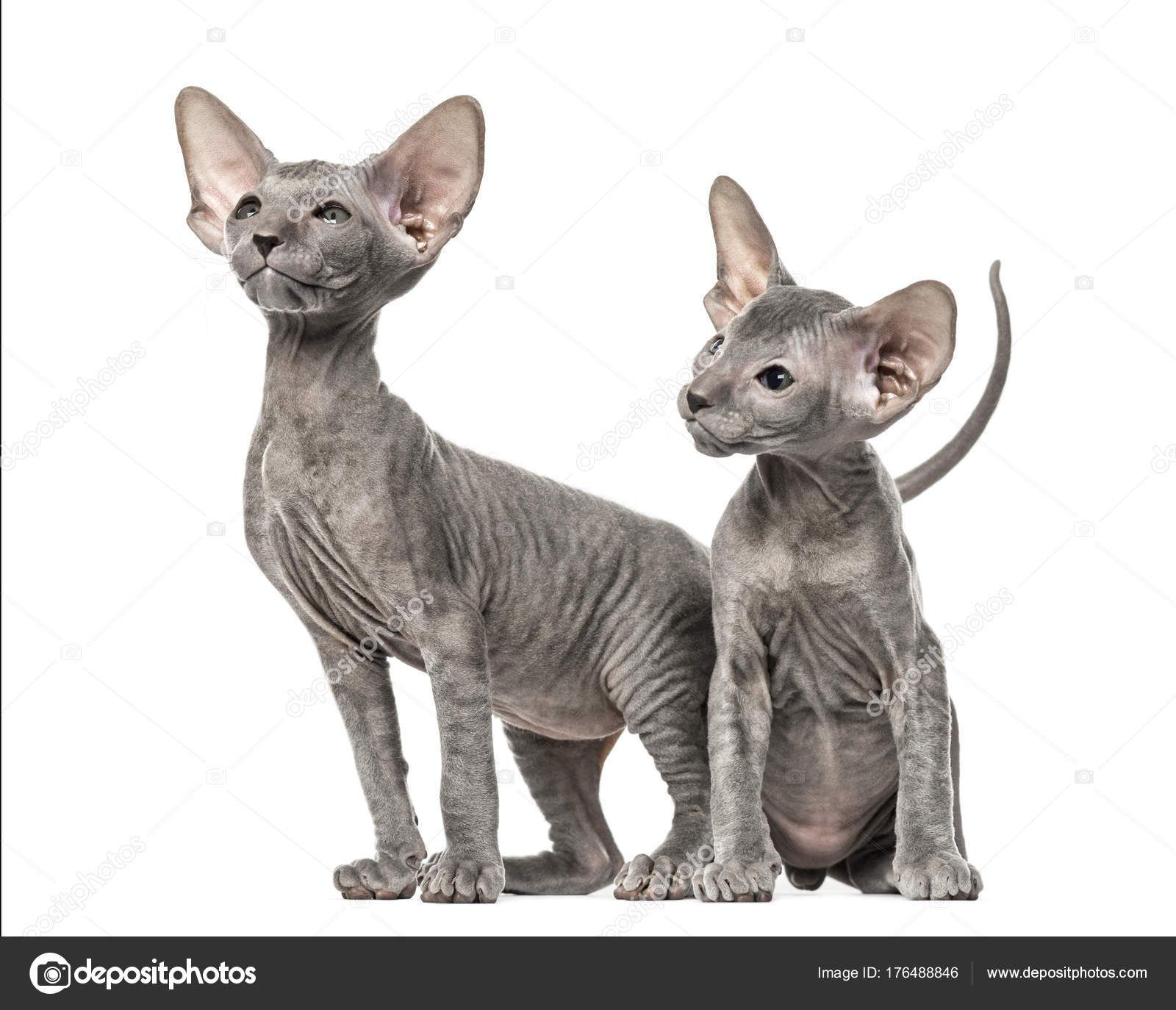 peterbald sphynx kitten - Google Search | Ninepoint OC