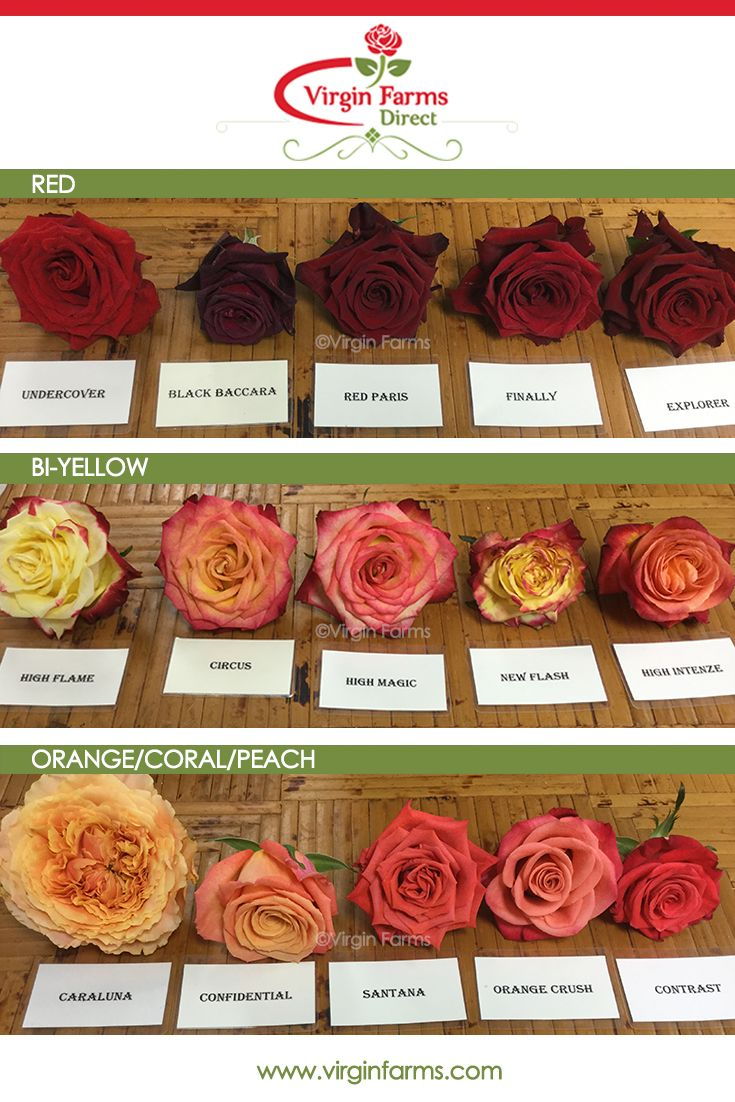 Rose Variety Comparison Chart Red Bi Yellow Orange Coral Peach Rose Varieties Types Of Roses Flower Names
