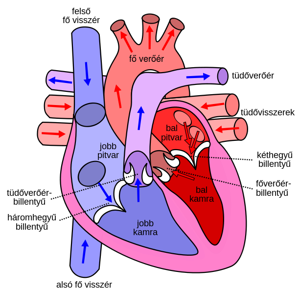 the features and function of the human heart | female anatomy, Muscles