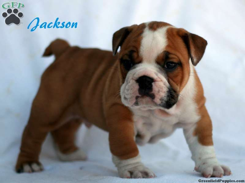 Jackson English Bulldog Puppy For Sale From Stevens Pa English