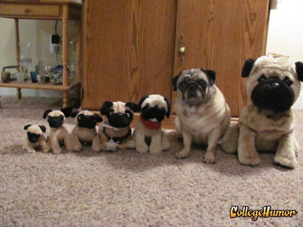 Real Pug Hangs Out With Fake Pugs Cute Pugs Pugs Funny Dog