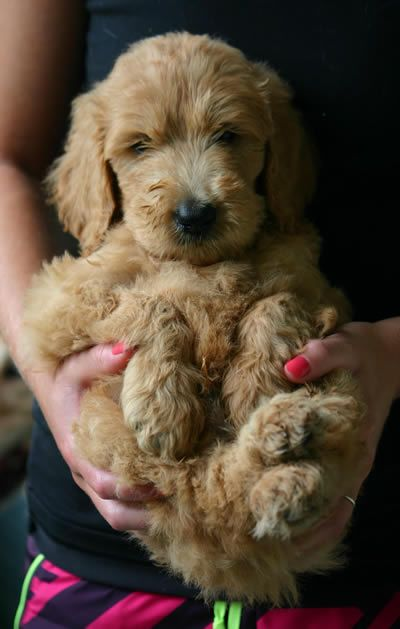 Golden Retriever Puppy For Sale In Aledo Tx Adn 71426 On