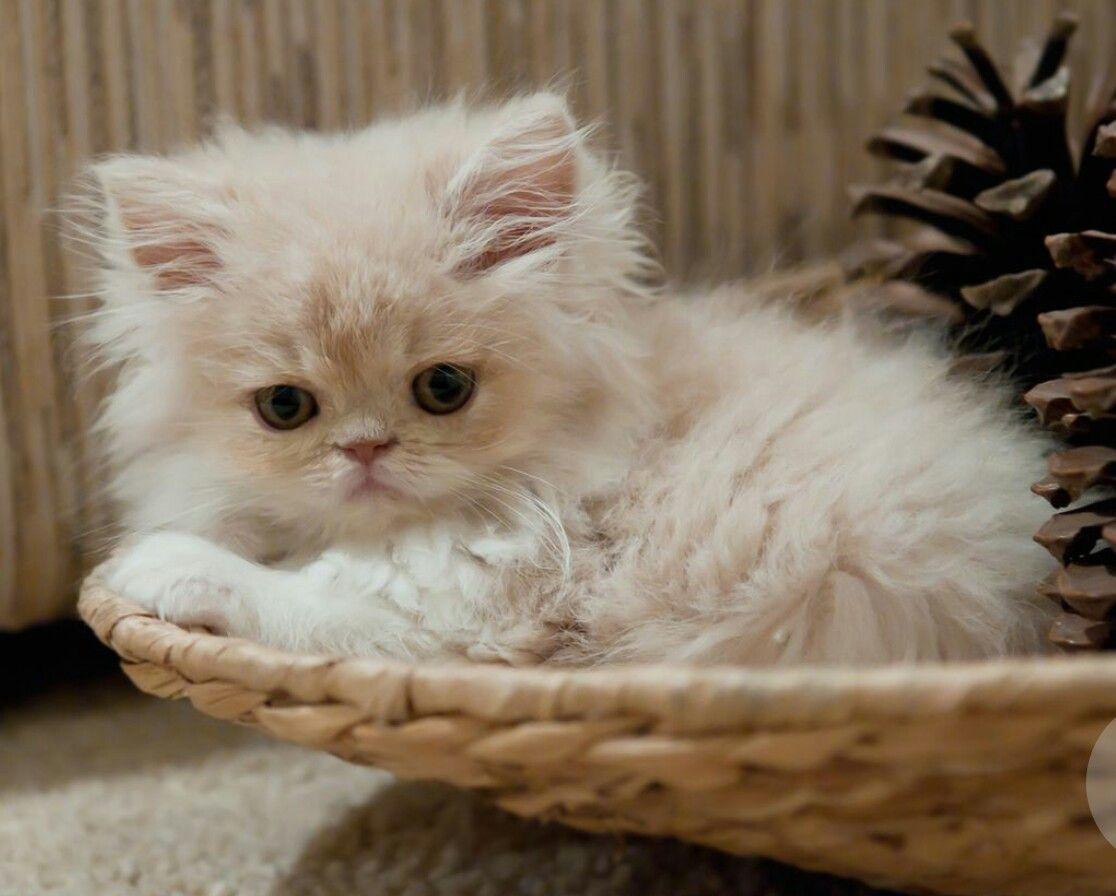 Cute fluffy white kitten cats Kittens, Pretty cats