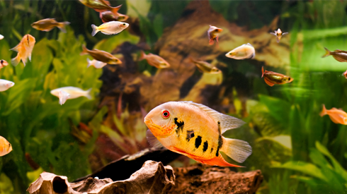 Types Of Freshwater Aquarium Fish Great Home These Types Of