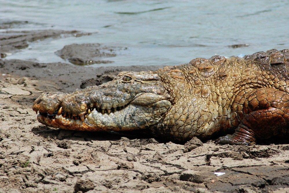 De vriendelijke krokodillen van Paga (Ghana) Krokodillen
