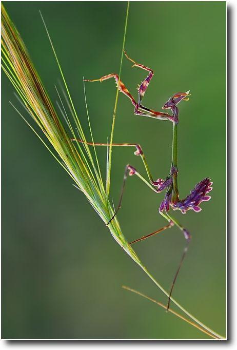 昆蟲 Insect カマキリ 自然動物