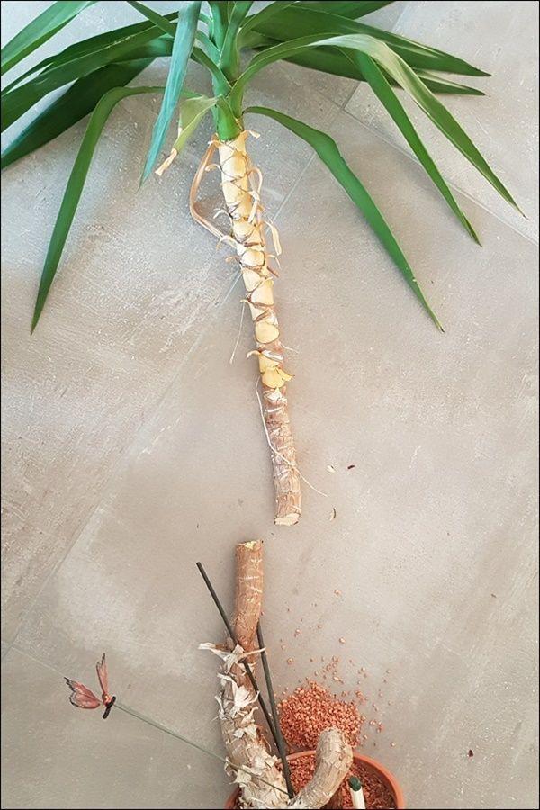 Yucca Palme Vermehren Aus Eins Mach Drei So Einfach Geht Das Yucca Palme Palmen Pflanzen Palmen Garten