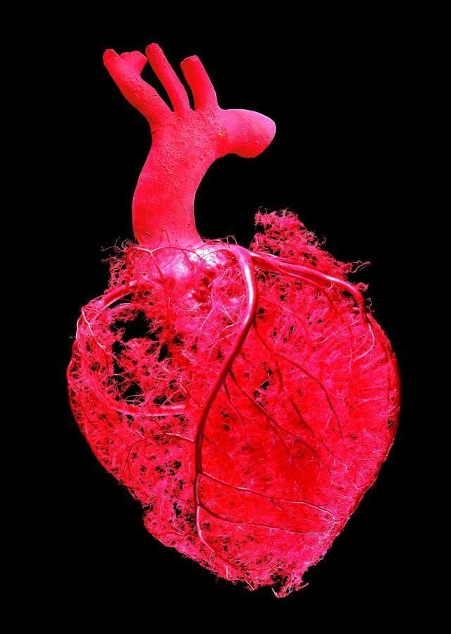 Vascularización del corazón | Medical Incredible | Pinterest | El ...