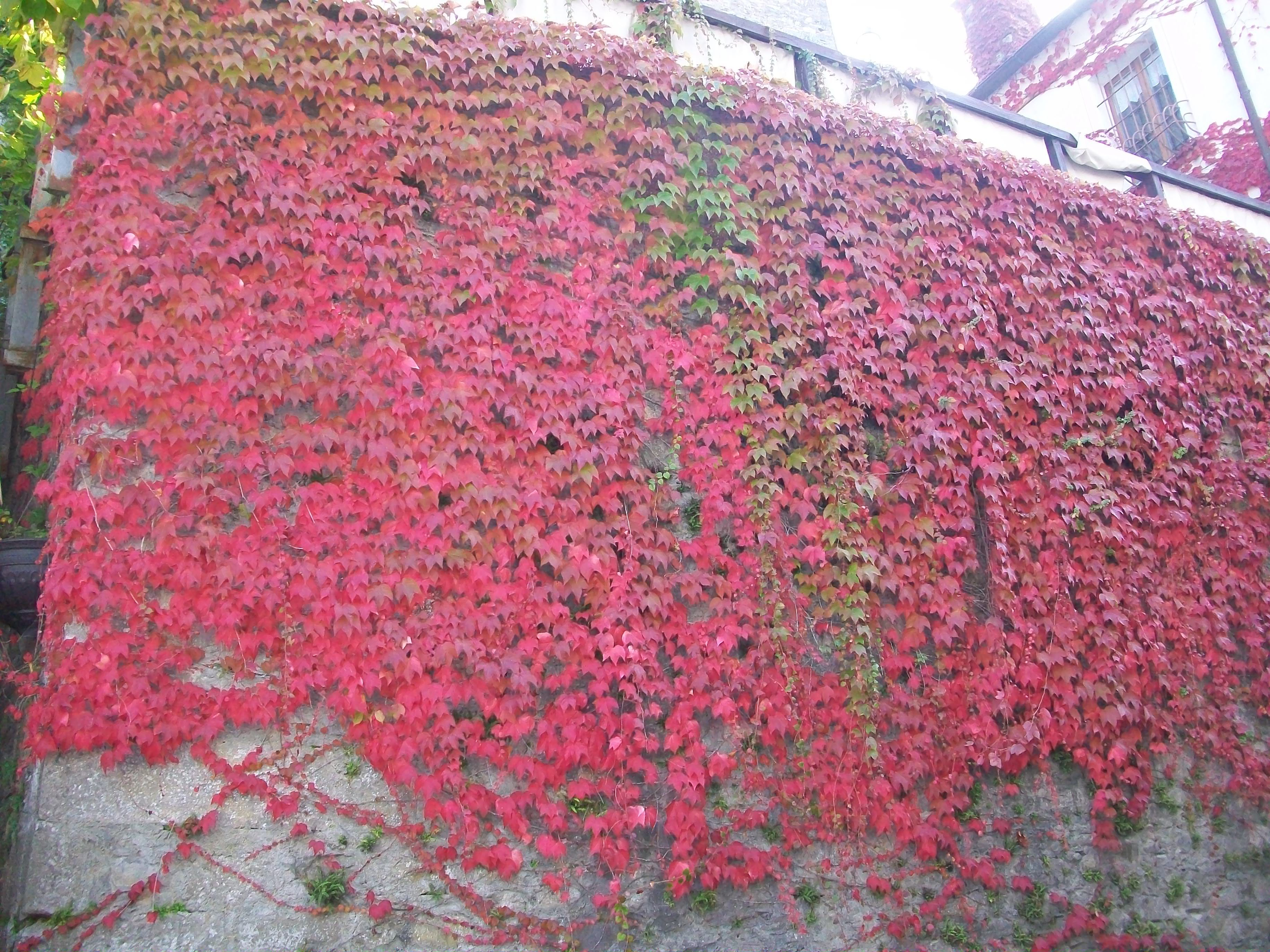 Wall of red leaves (Italy)