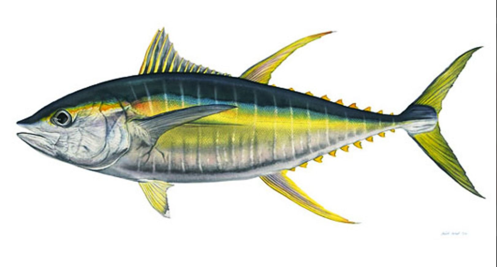 Cabo- a great sport fish! Yellow fin Tuna www.richardmex.com ...
