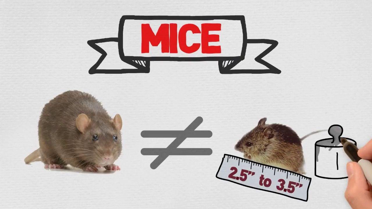 Mice Control in Miami Toro Pest Call 3055944767