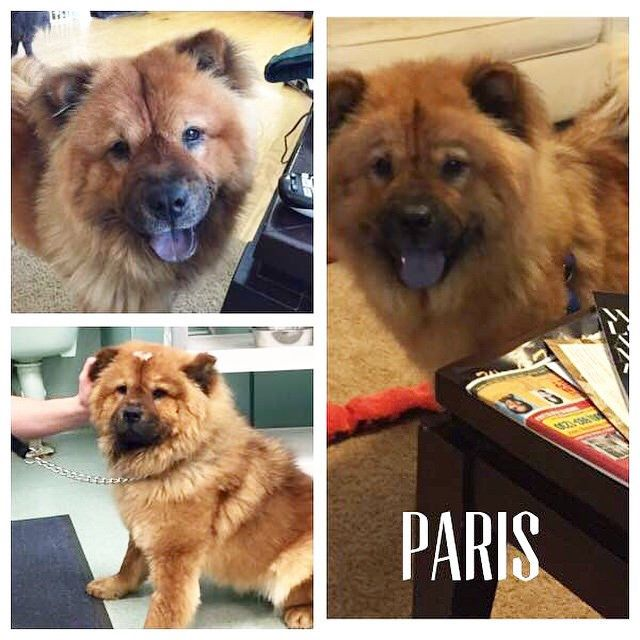 Paris Is A 2 Year Old Red Female Chow With A Dark Mask She Is Great