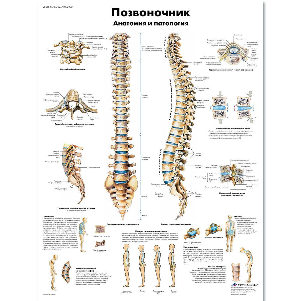 ZVR6152L_01_1200_1200_Медицинский-плакат-Позвоночник-человека.jpg ...