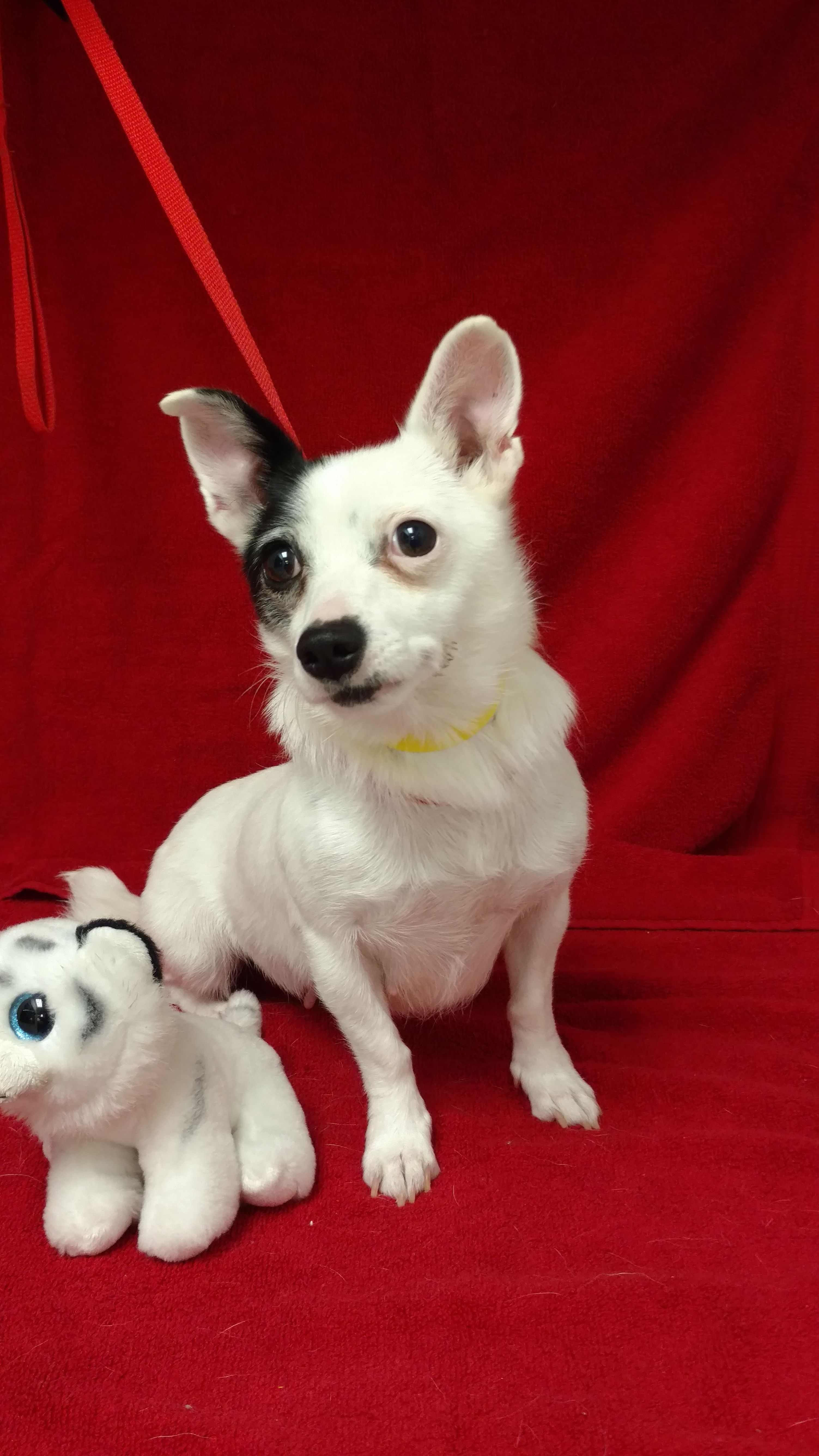 Andi Is A 2 Year Old 8 Pound Female Chihuahua Mix She Gets