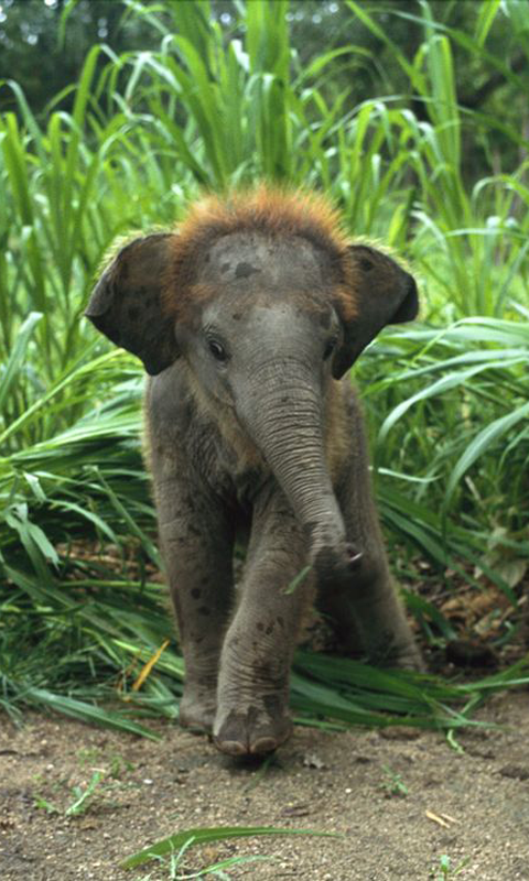 Elephant Calf Baby Animals Pictures Cute Baby Elephant Baby Animals