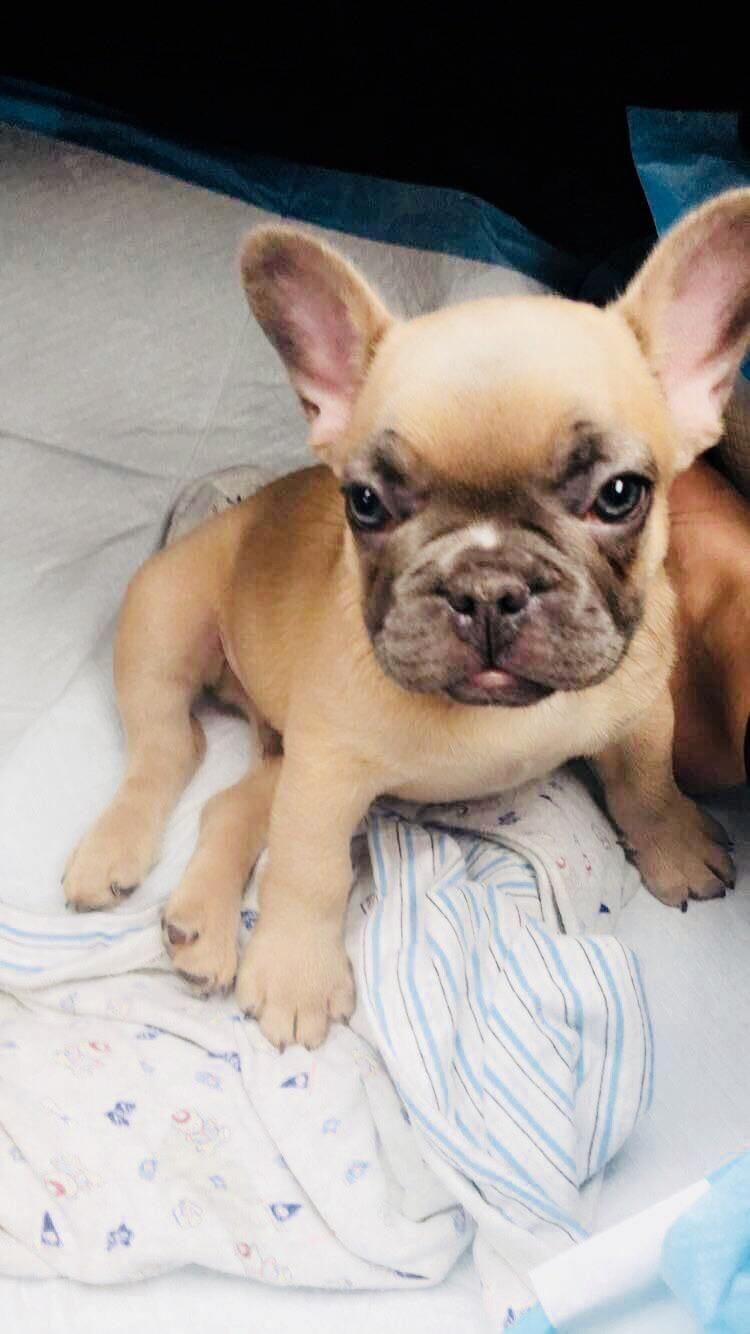 Hes All Mine My Husband Surprised Me With A Frenchie Puppy Https Ift Tt 2kykzcx Frenchie Puppy French Bulldog Puppies Puppies