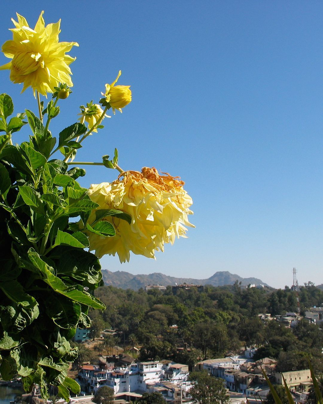 Yellow Flowers Are My Favourite Kind A View Of Mount Abu In