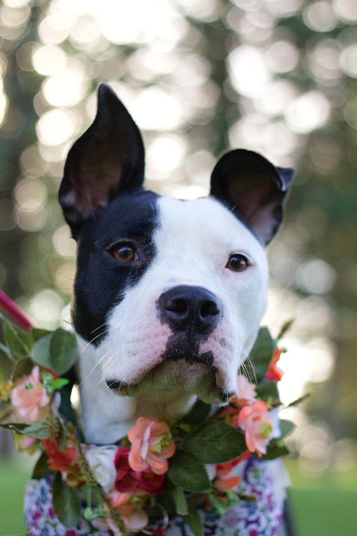 Adopt Bambi on Boxer terrier mix, Terrier mix, Dog adoption