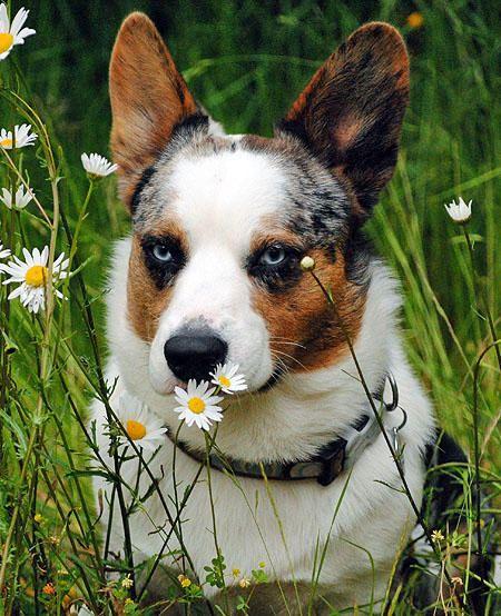 Ferdinand The Corgi Corgi Corgi Puppy Cute Corgi Puppy