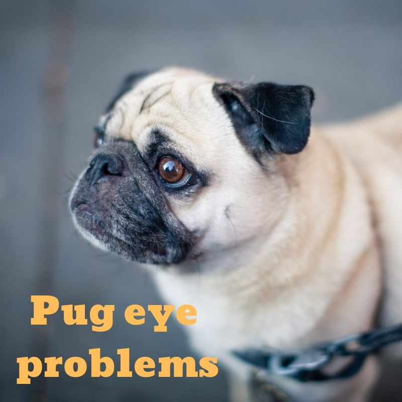 Pin On Pug Eyes