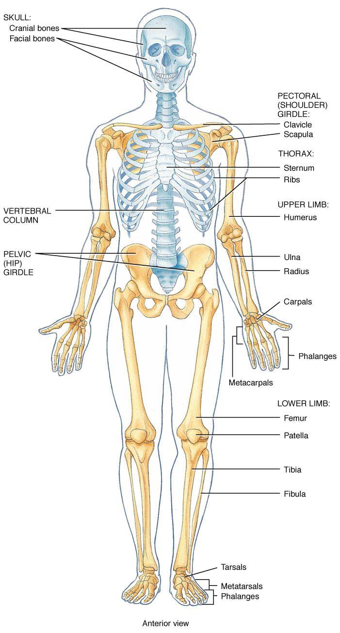 Skeletal System Anatomy Pinterest Anatomy Bones And Human