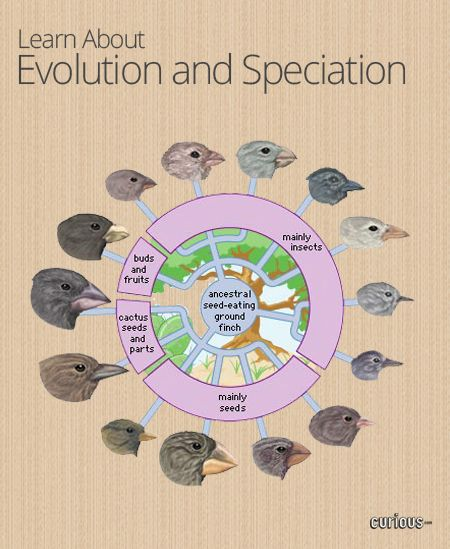 """Speciation- """"The way natural selection leads to the formation of new species."""" (Johnson, 279). Speciation shows the steps traits took through natural selection that causes significant enough changes to form a new species."""