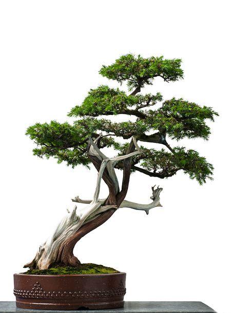 igel wacholder als bonsai bonsai b ume pinterest. Black Bedroom Furniture Sets. Home Design Ideas