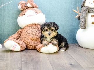 Teacup Ralph Is One Of Our Morkie Puppies 10 Week Old