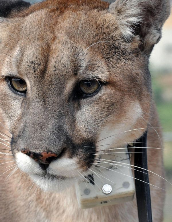 Pumas Trained To Run On Treadmill Help Explain Big Cats Ambush