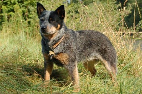 What You Need To Know About Training Blue Heeler Puppies Puppy
