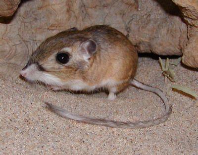 Kangaroo Rat Family Heteromyidae Order Rodentia Class