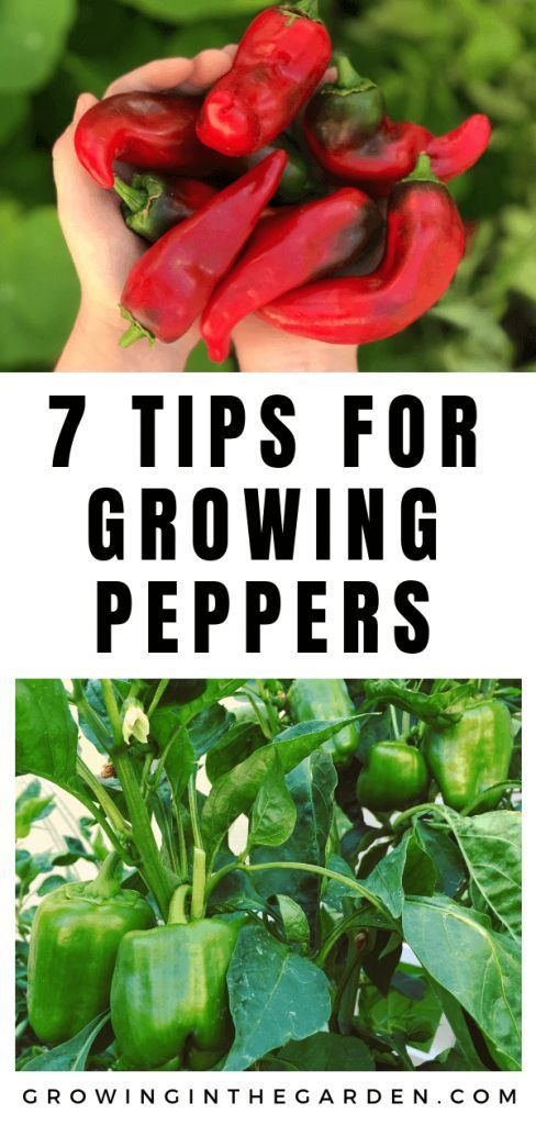 How to grow peppers  7 tips for growing peppers 611785930614368303