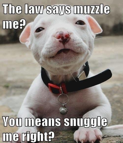 Image result for pitbull dog meme