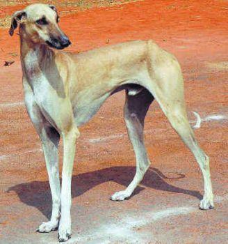 Chippiparai Indian Greyhound Sighthound Dogs Hound Breeds