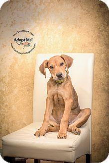 Labrador Retriever Rhodesian Ridgeback Mix Dog For Adoption In Cincinnati Ohio Boone Labrador Retriever Labrador Labrador Retriever Mix
