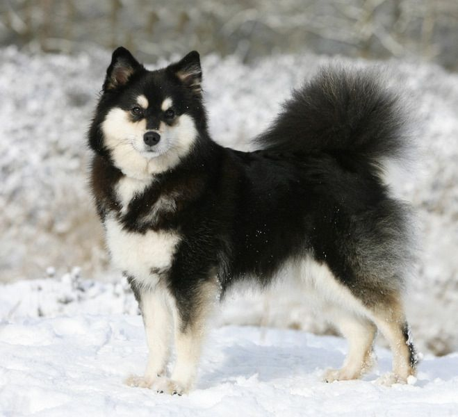 finse lappenhond | finnish lapphunds | dog breeds, snow dogs, lap dogs