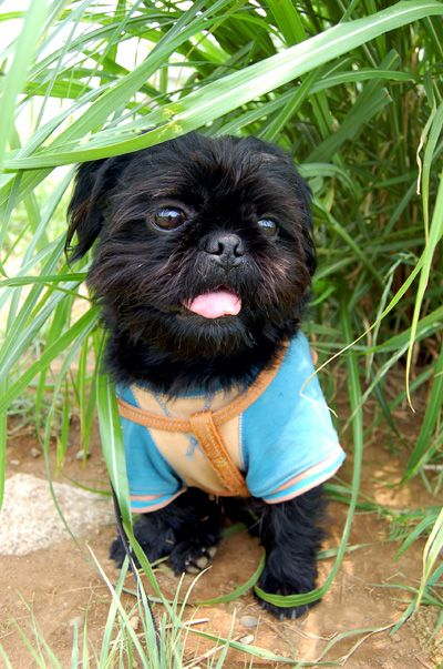 Kurosuke Ishigaki Pugshihtzu Mix Dog Like It Pugs Dogs Shih Tzu